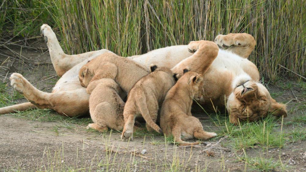 Une lionne et ses lionçeaux dans le Parc National du Serengeti en Tanzanie
