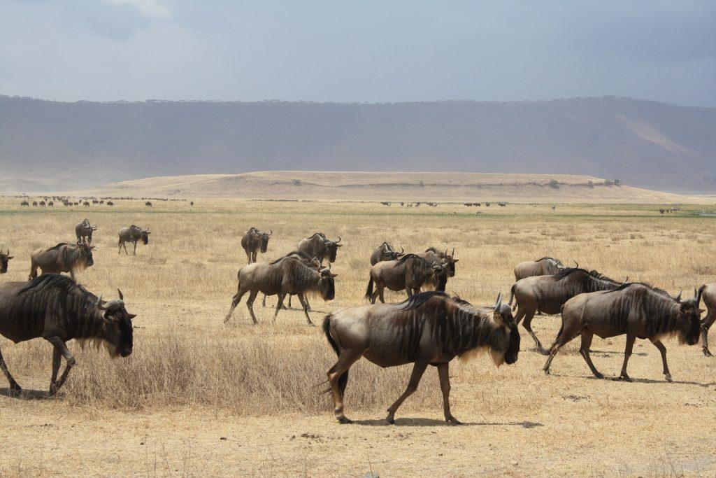 Migration des gnous lors d'un safari Tanzanie