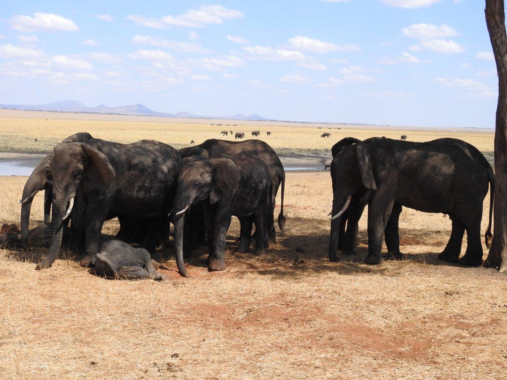 Eléphants du Parc National de Tarangire