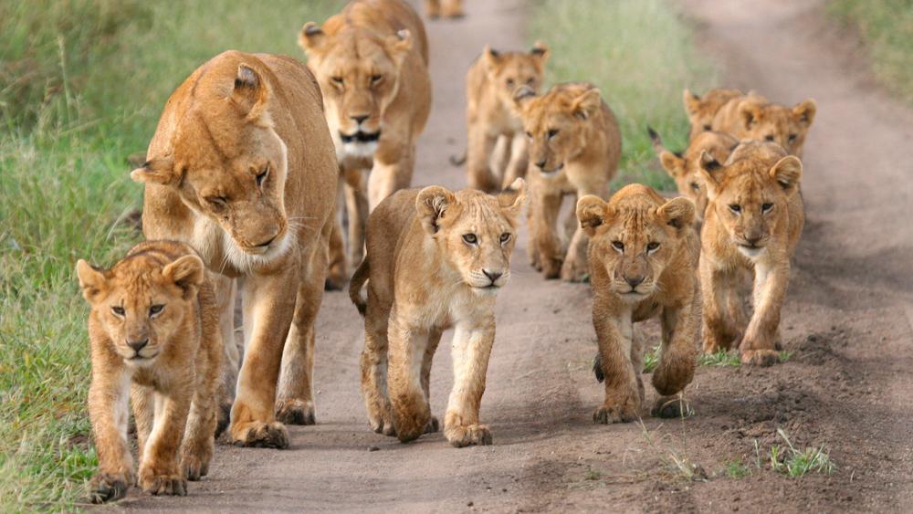Lionnes et lionceaux