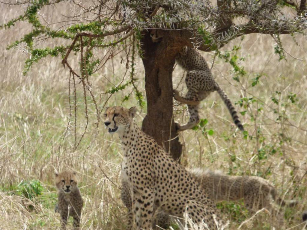 Guépard Serengeti