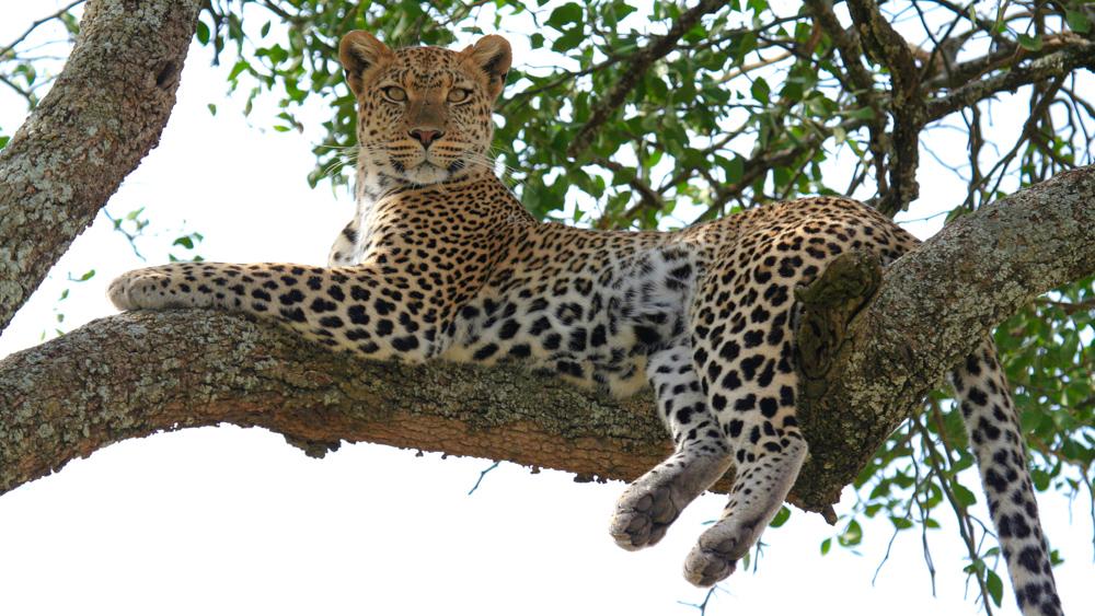 Léopard sur son arbre