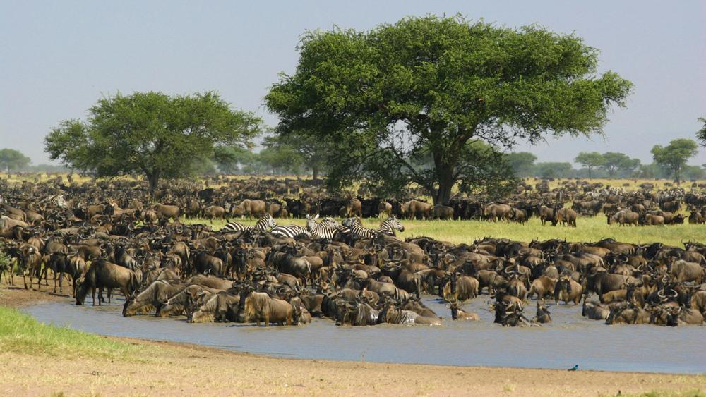 Migration gnous Ndutu