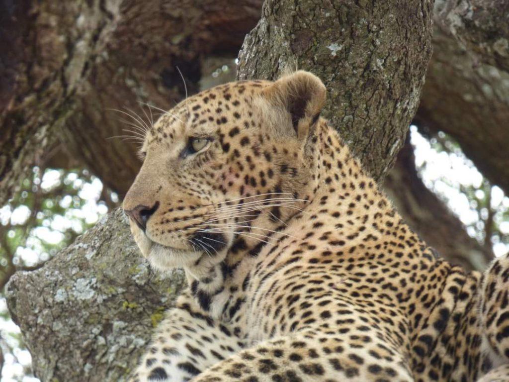 Léopard dans le Parc National de Serengeti en Tanzanie