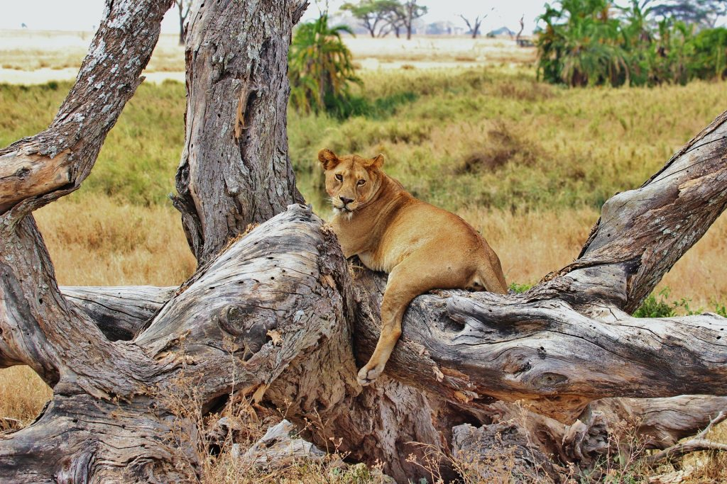 Lionne sur son arbre dans le Parc National du Serengeti
