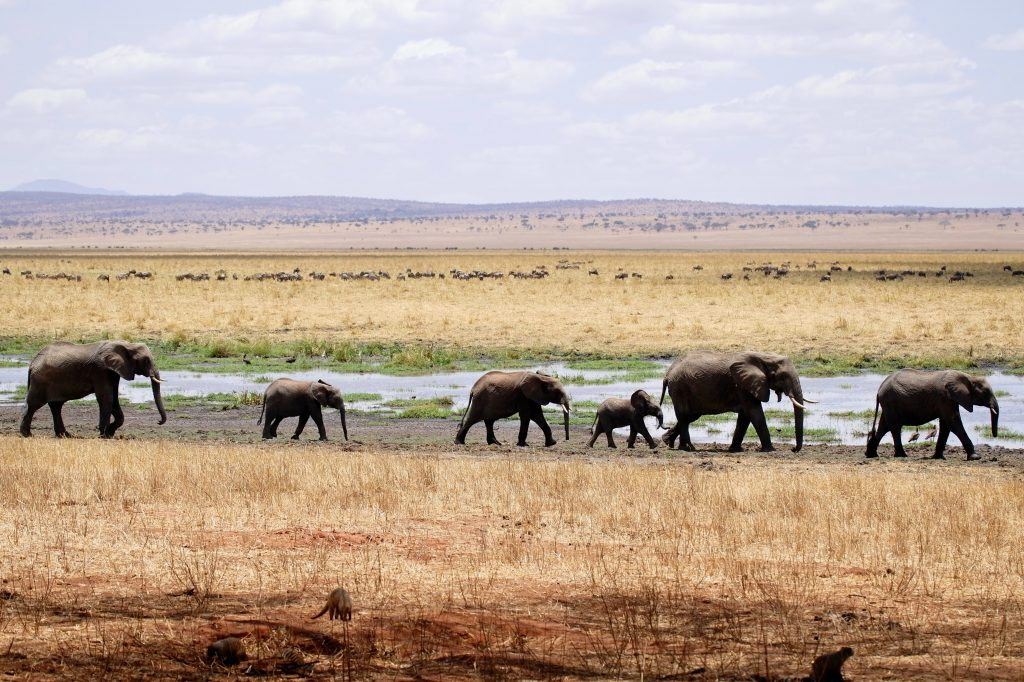 Eléphants en migration dans le Parc National du Tarangire