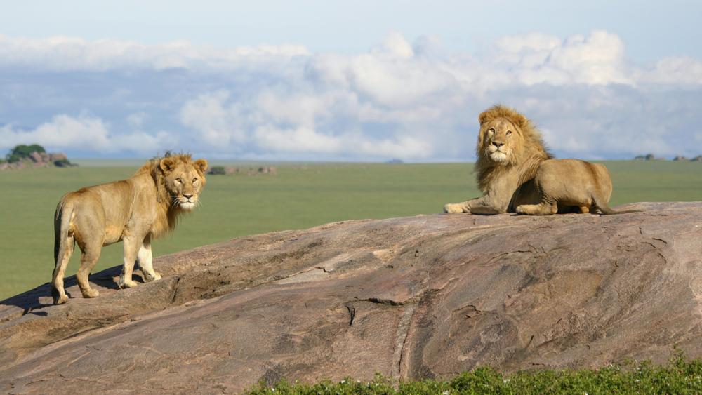 Lions dans le Parc National du Serengeti