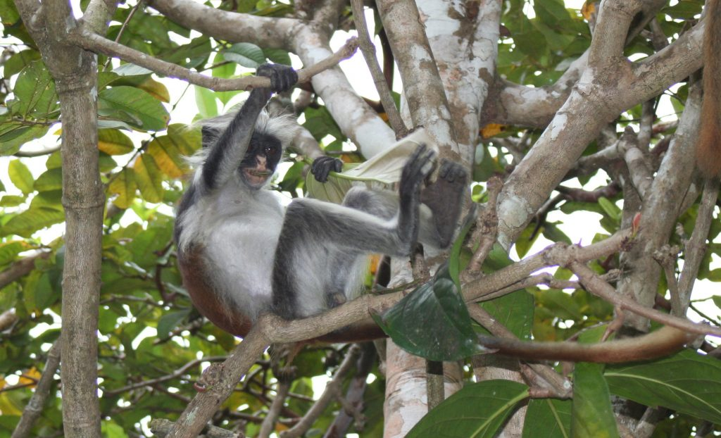 Safari Zanzibar Jozani singe